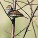 Savannah Sparrow 2-20150518