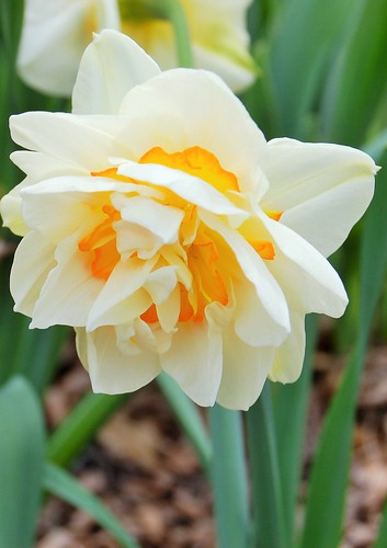 flower drift daffodil 2015 | by mtbturtle101