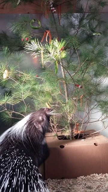 Lawlor made the porcupine its own Christmas tree with edible decorations.