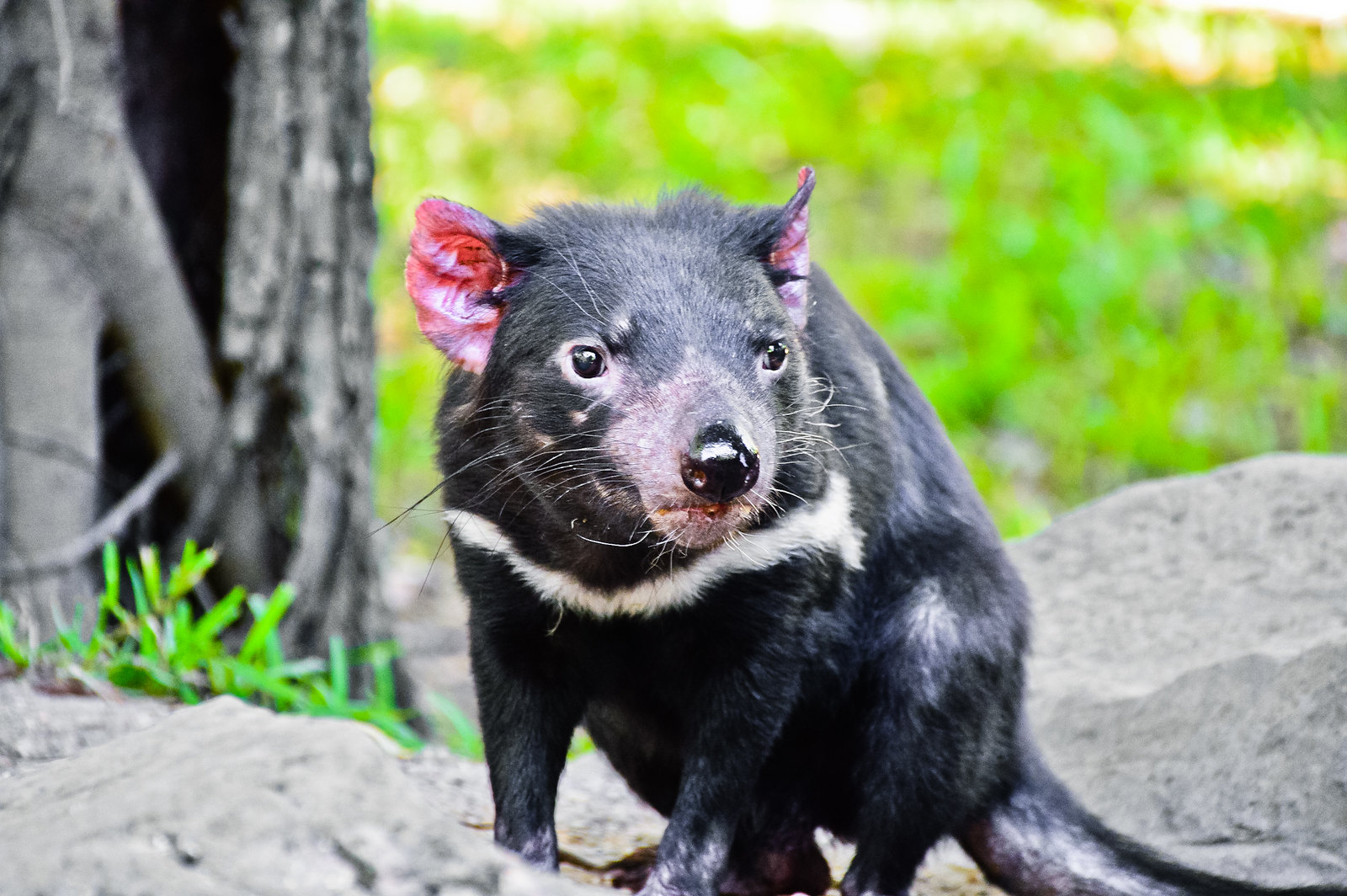 Currumbin Wildlife Sanctuary Tasmanian Devil