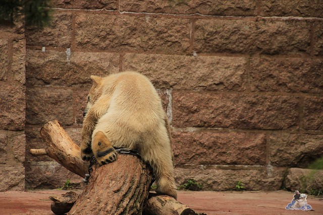Eisbär Fiete im Zoo Rostock 24.05.2015 210