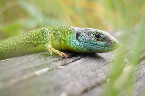 Smaragdeidechse - Green Lizard - Lacerta bilineata / Lacerta viridis