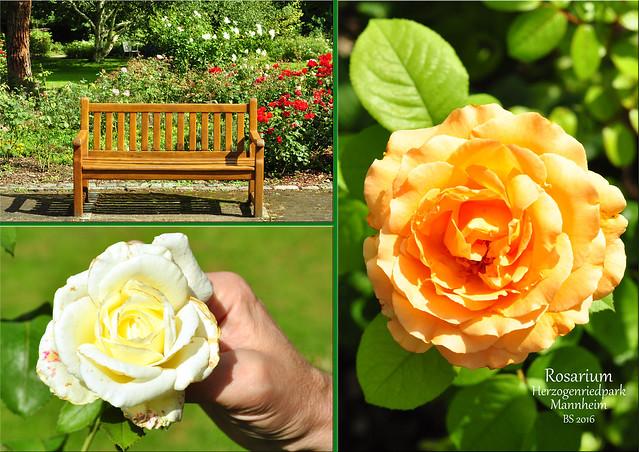"""""""Ich kenne eine Rose, die lacht mir immer zu ..."""" (Poesiealbum-Vers) - Gartenreisen: Der Rosengarten im Herzogenriedpark Mannheim ist sehenswert. 100 verschiedene Sorten sollen es sein und das Rosarium selbst eines der schönsten in Deutschland. Die Rosengartenanlage mit den kleinen Hügeln, den Holzbänken und -stegen, den vielen verschlungenen Pfaden und schattigen Plätzchen rund um die Rosenbeete ist wunderbar gestaltet. Sooo viele Farben, Formen und Düfte! Auf der Internetseite des Herzogenriedparks steht der schöne Satz zu lesen: """"Das Rosarium Mannheim bietet der Königin unter den Blumen das paradiesische Plätzchen, das ihr gebührt"""". - Fotos und Collagen: Brigitte Stolle 2016"""