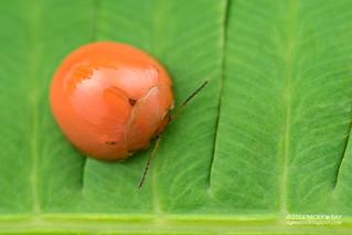 Leaf beetle (Chrysomelidae) - DSC_9507