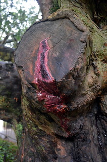 Bleeding yew