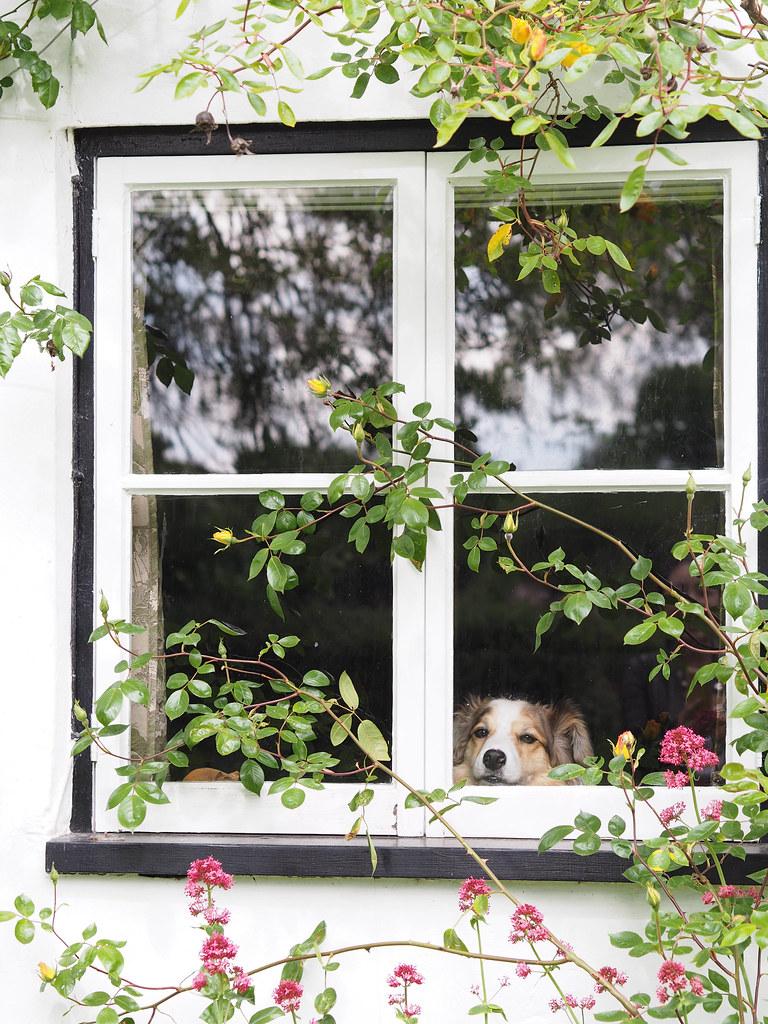 chilbolton-dog