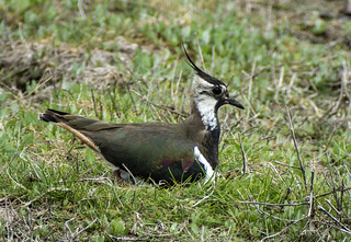 lapwing with eggs462 (84)
