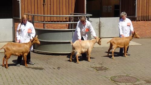 Bill Quay Goat Show June 15 (14)