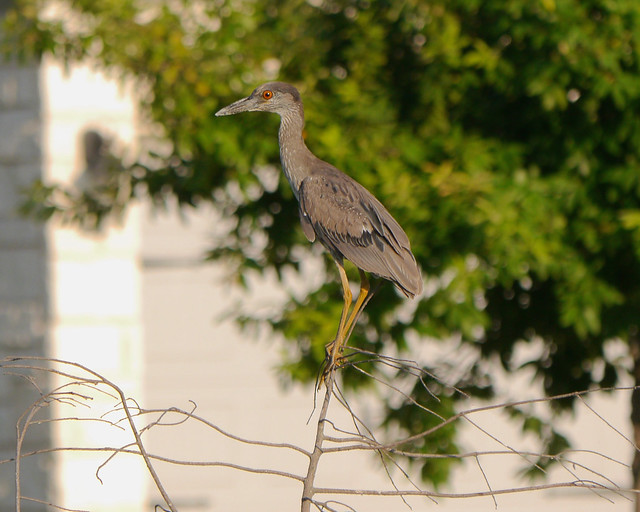 Yellow-crowned Night-Heron Juvenile