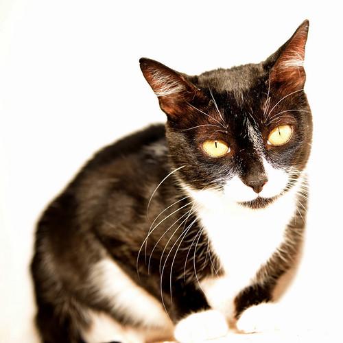 Gitana, gata blanquinegra dulce y tranquila esterilizada, nacida en Febrero´14, en adopción. Valencia. ADOPTADA. 29350111391_d19196d202