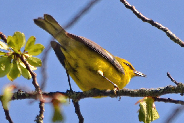 DSC_5370 Blue-winged Warbler (Vermivora cyanoptera ) FRENCHBORO Maine MAY29 2015 MJGood