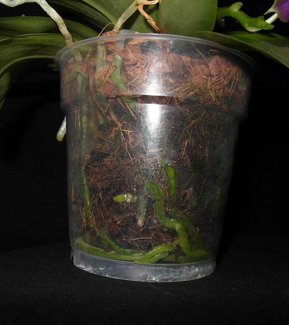 Phalaenopsis bellina x violacea (Samera) 18617109905_207603ce00_z