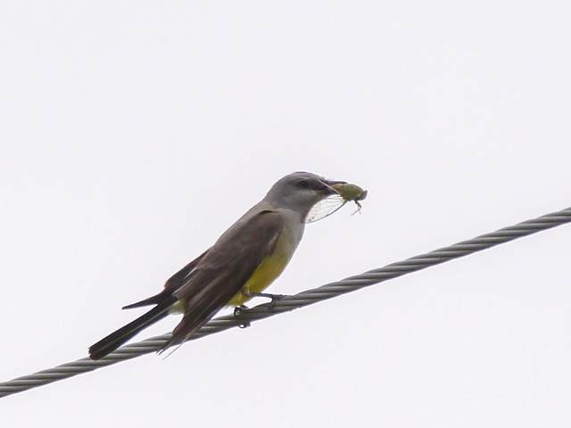 Western Kingbird eating Cicada - 4