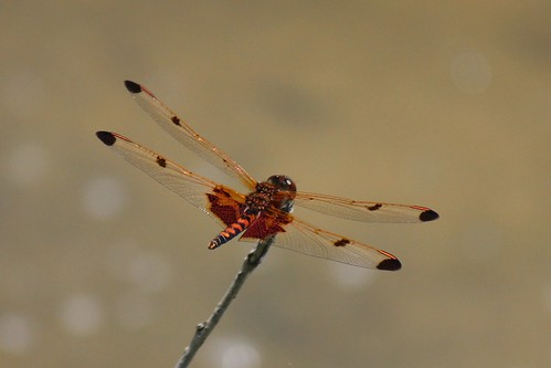 IMG_4127_Dragonfly