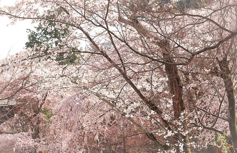 sakura hills kyoto ukyo-ku japan hanami cherry blossom mountain landscape outside sakura hills kyoto ukyo-ku japan hanami cherry blossom mountain landscape outside