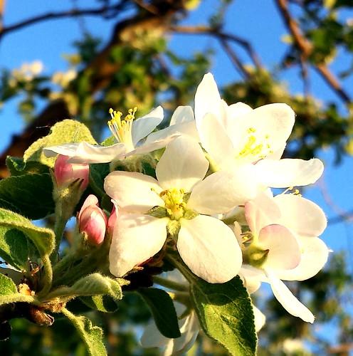 Apple Orchard Beauty