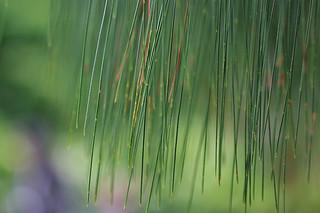 SF Botanical Garden - Apulca Pine upclose
