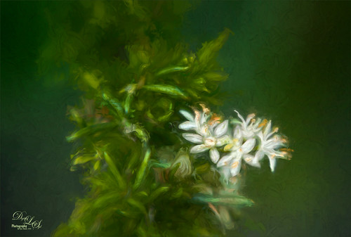 Image of Little White Flowers growing on a Foxtail Fern