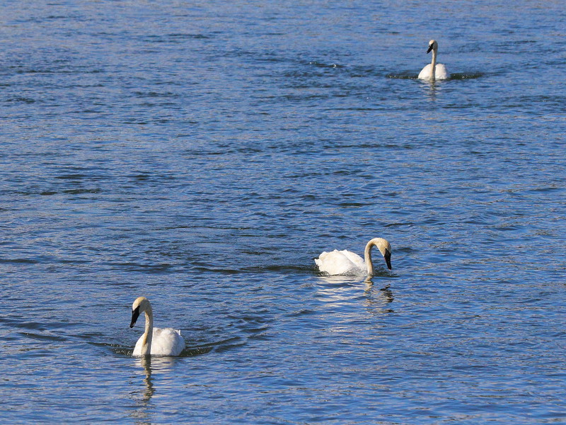 IMG_2309 Trumpeter Swans, Yellowstone National Park