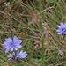 Wilde cichorei / Common chicory / Cichorium intybus