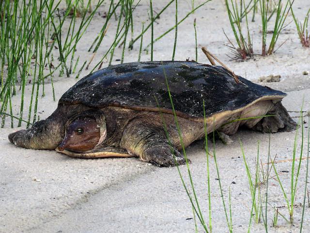 Florida Softshell Turtle (Apalone ferox)