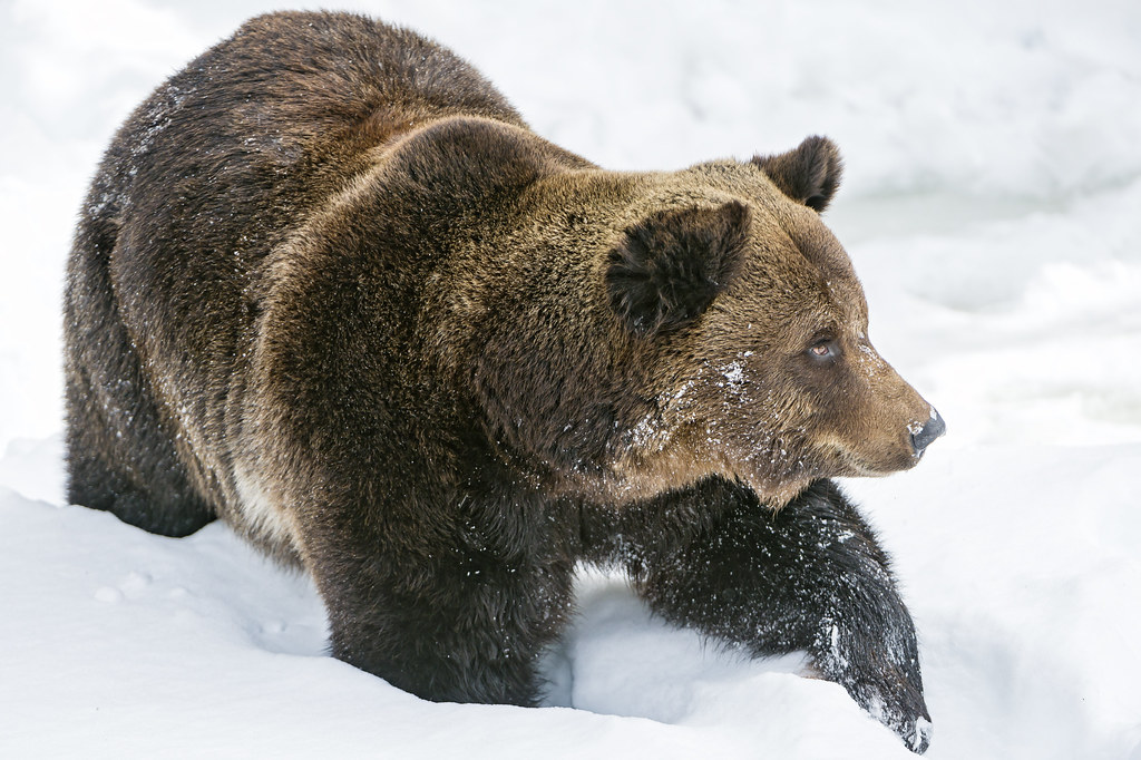 brown bear walking in the snow last picture one of the. Black Bedroom Furniture Sets. Home Design Ideas
