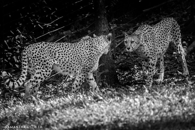 The fierce cheetahs stare each other down