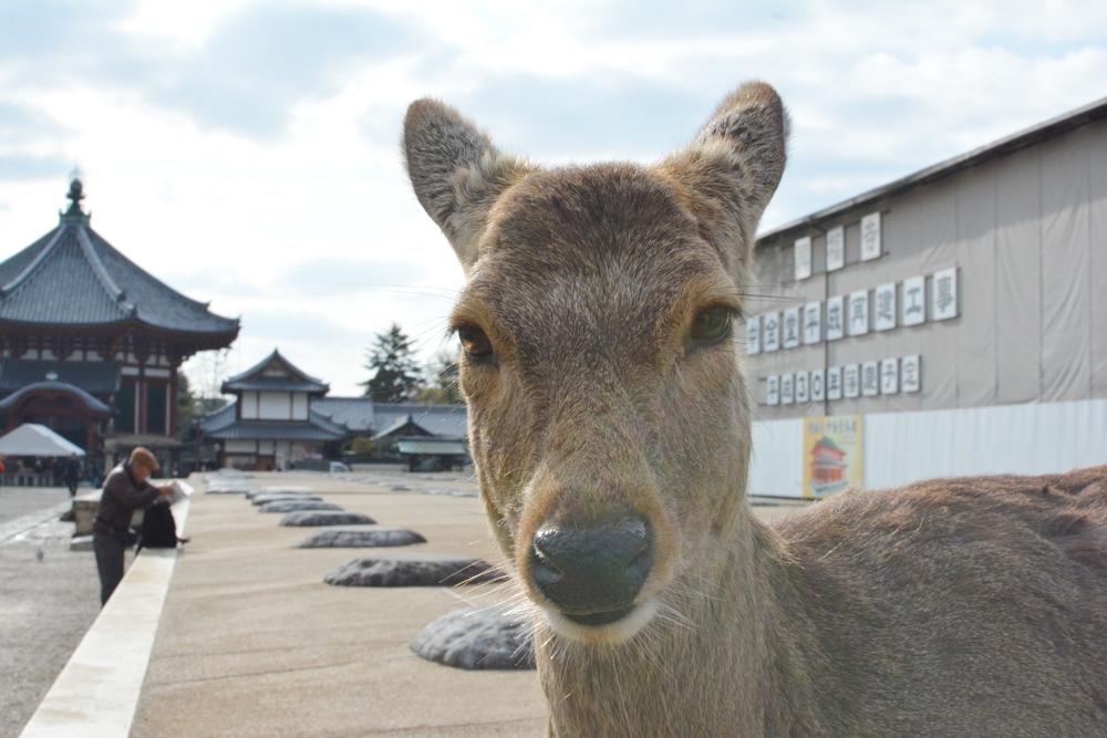 Cerf sika à Nara