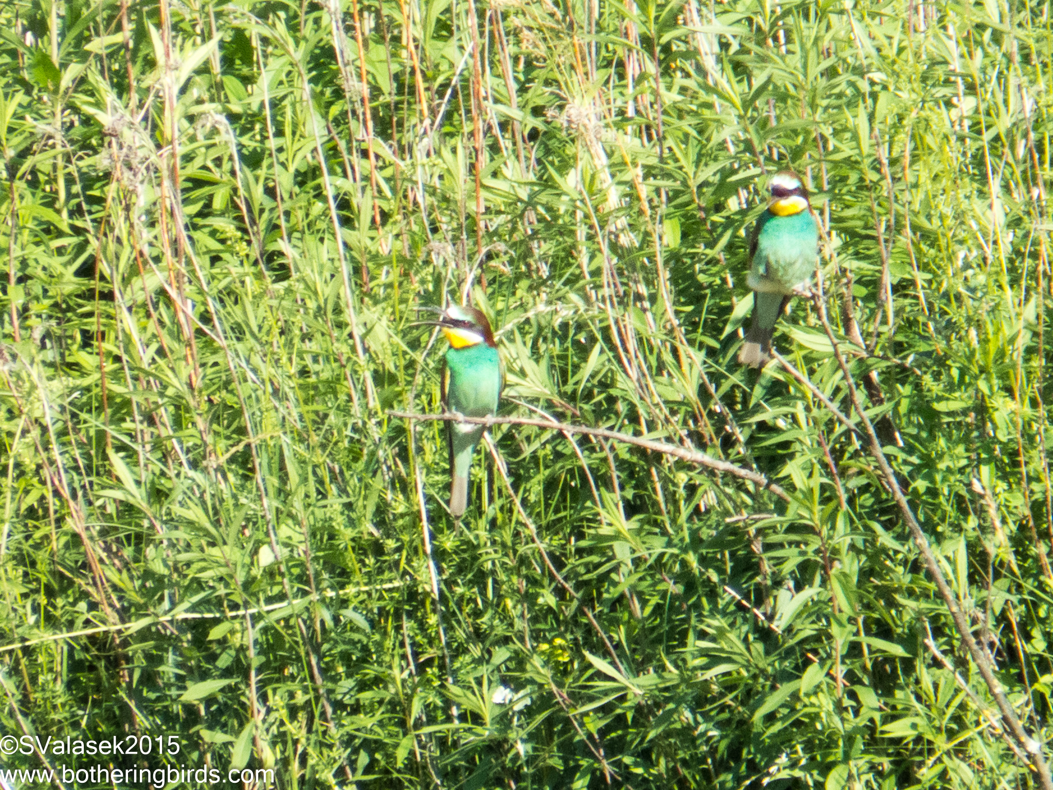 Eurasian Bee-Eaters