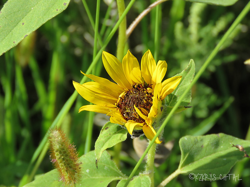 IMG_2780Sunflower