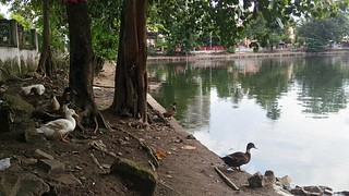 Many temple ponds in Guwahati are home to several rare and endangered species of turtles. Concretising pond banks robs turtles of their breeding space.