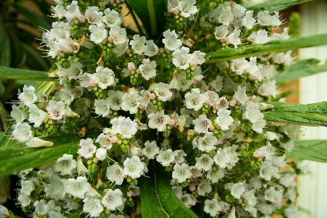 20150523-10_Echium Pininana Plants - Flower Clusters