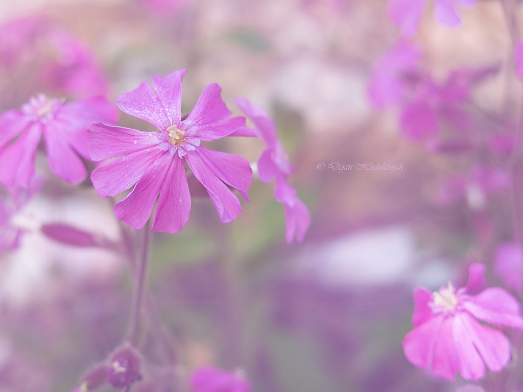 Pink Flower Red Campion Welcome To My Newly Opened Faceboo Flickr