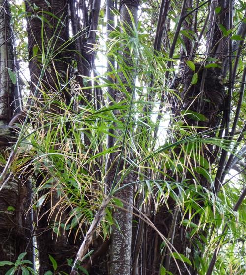 Chamaedorea glaucifolia 18145521853_b4338f7aac_o