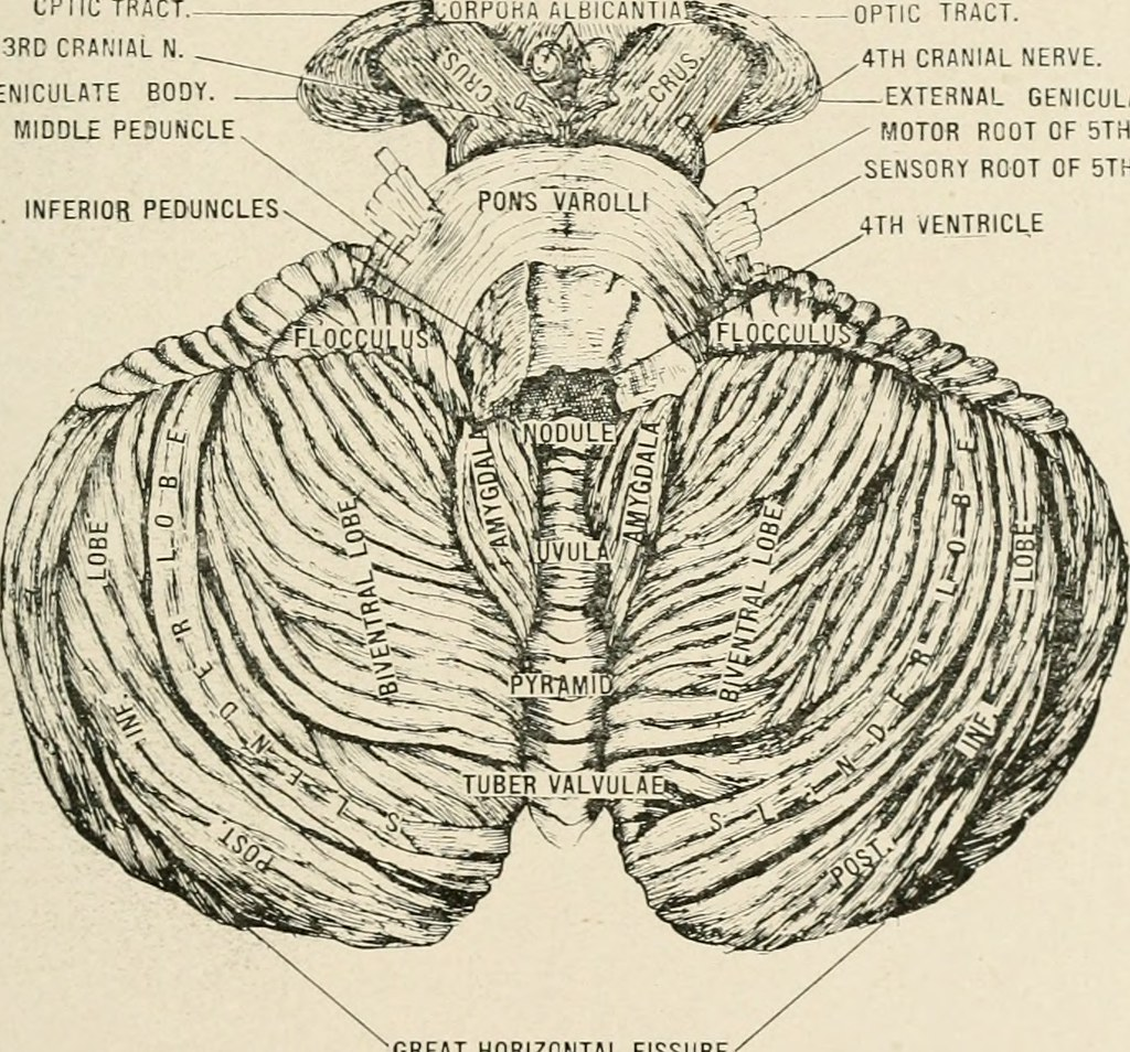 Image From Page 372 Of Anatomy In A Nutshell A Treatise Flickr