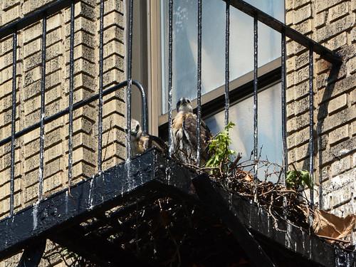 JHW Hawk Nestlings - 2165