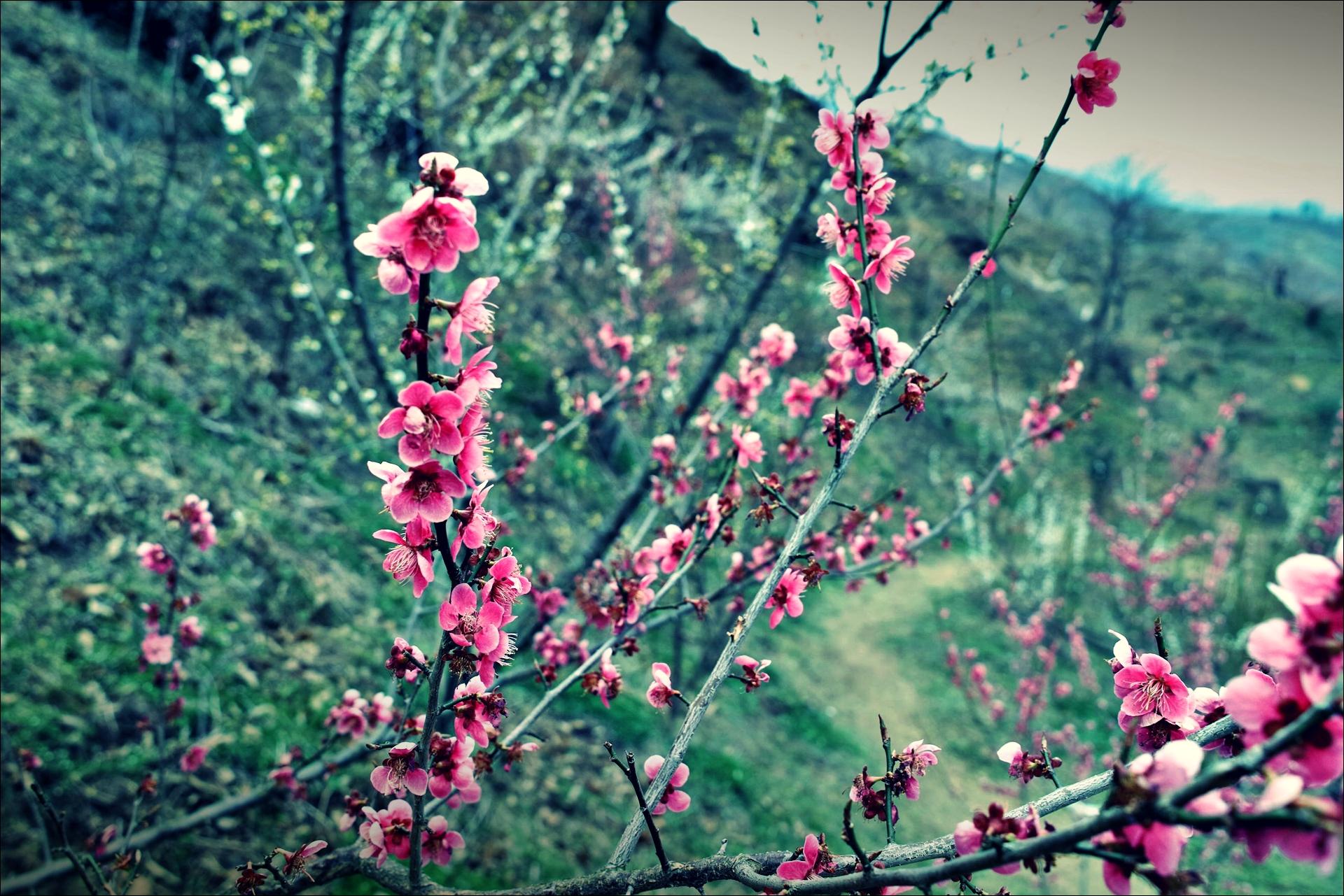홍쌍리 매실마을 매화축제 apricot blossom festival-'홍매화'