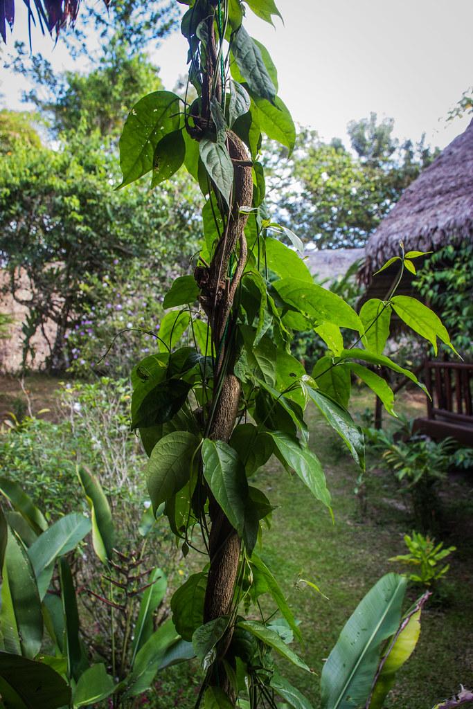 Ayahuasca Vine | Apollo | Flickr