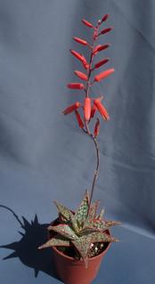Aloe 'Donnie' 18427593038_bd95f0f40b_n