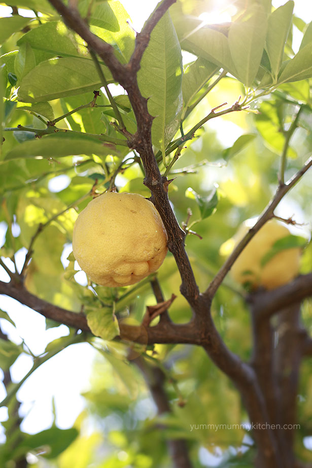 Lemons on a lemon tree