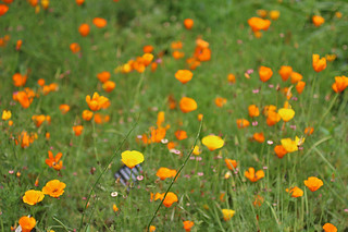 SF Botanical Garden - California poppies