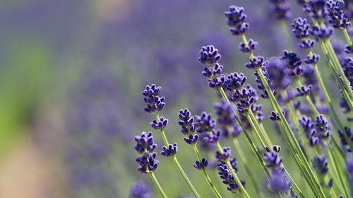 Lavender | by daihung