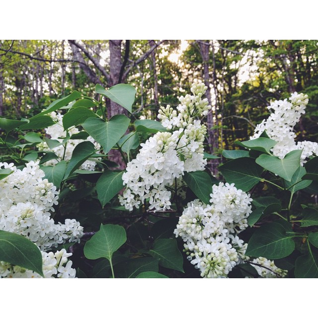 the very old white lilacs by the chicken coop