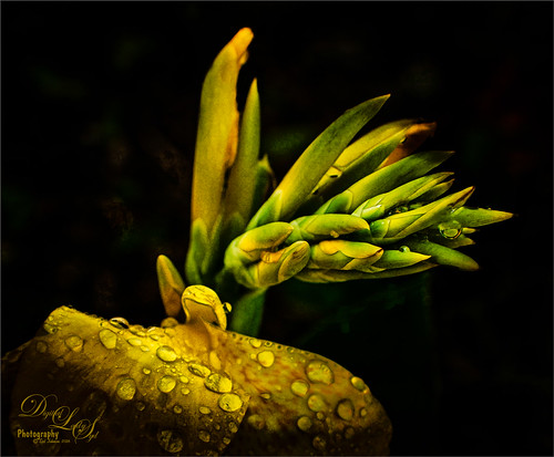 Macro image of a Canna Lily with Rain Drops