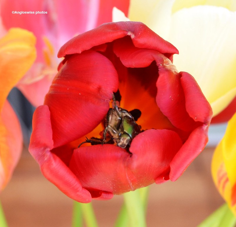Two Rose Chafer in a tulip