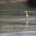 Grey Heron, Baie Lazare Picault, Mahe
