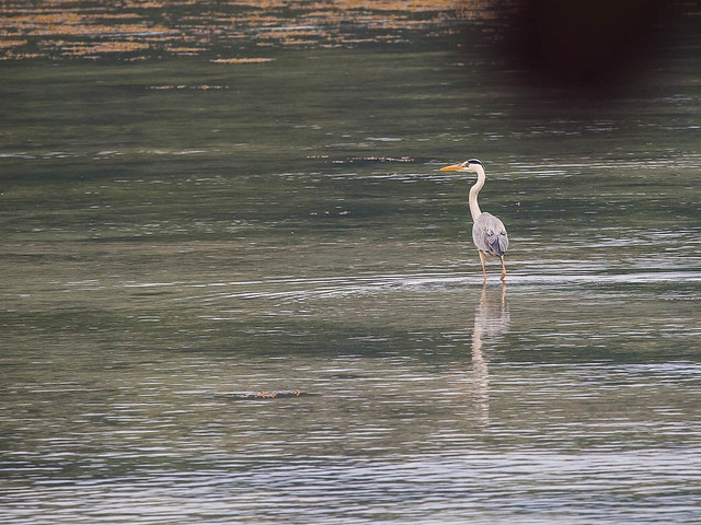 Gery Heron, Baie Lazare Picault, Mahe