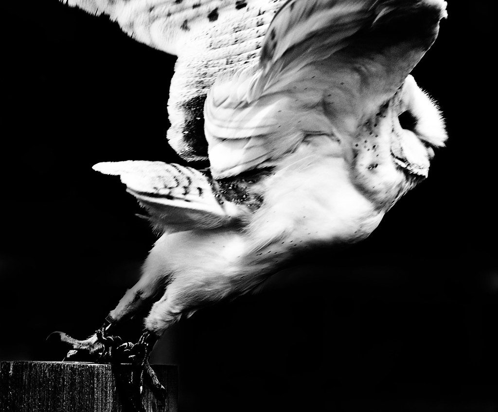 Barn Owl Taking Off We Have Lift Of...