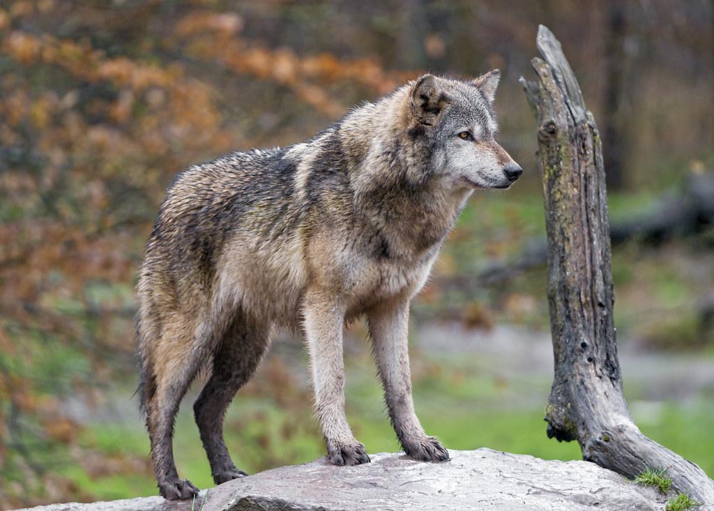 岩の上の狼
