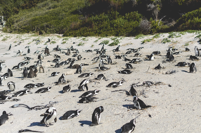 Penguins Boulders Beach 2
